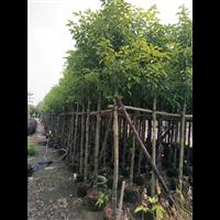 【香樟树】香樟价格/云南8公分香樟树批发