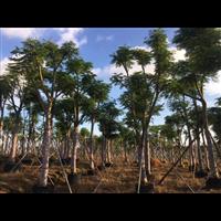 凤凰木苗木场_海南8公分优质凤凰木苗木场