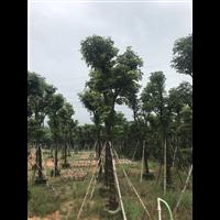 【香樟树】优质香樟树报价_贵州8公分香樟树种植方法