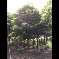 【香樟树】优质香樟树报价_广东25公分香樟树批发报价