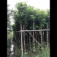 【凤凰木】优质凤凰木价格_云南10公分凤凰木如何种植