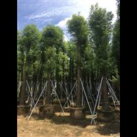 【香樟树】优质香樟树价格_贵州18公分香樟树批发