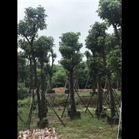 【秋枫树】优质秋枫树批发_广西20公分秋枫树种植基地