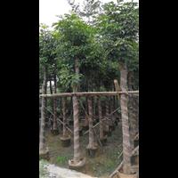 【秋枫树】优质秋枫树价格|海南10公分秋枫树价格