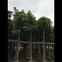 【秋枫树】优质秋枫树价格/福建10公分秋枫树价格