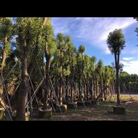 【香樟树】优质香樟树批发|福建25公分香樟树有哪些价值