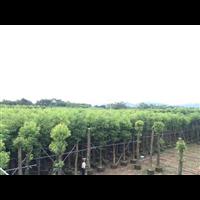 【香樟树】优质香樟树价格_广东8公分香樟树有哪些价值