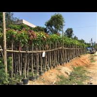 【芒果树】_贵州10公分芒果树如何种植?