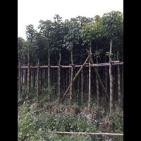 【秋枫树】_福建8公分秋枫树多少钱一棵?