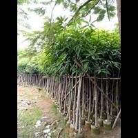 【芒果树】_海南25公分芒果树批发价格