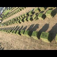 草皮|湖南草皮