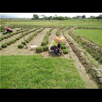 绿化草皮|怀化绿化草皮