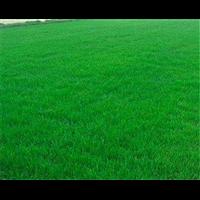 草皮|郴州草皮