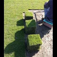 怀化马尼拉草坪供货商