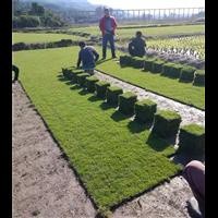 贵州马尼拉草坪价格