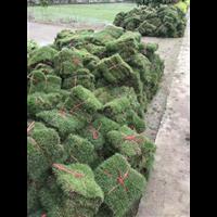 郴州马尼拉草皮种植基地