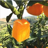湖南柑桔橘子价格