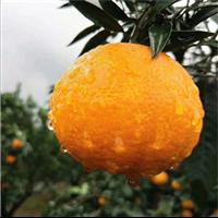 广东柑桔橘子价格