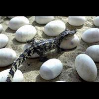 鳄鱼养殖-鳄鱼蛋的营养价值与功效作用