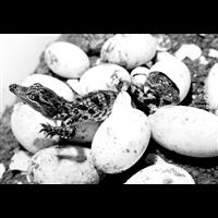 鳄鱼养殖-鳄鱼蛋孵化你需要知道哪些?
