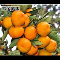 重庆早熟蜜桔苗种植园
