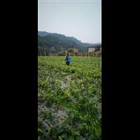 湖南布福娜种植园