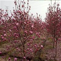 紫玉兰―河南驻马店