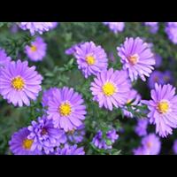 荷兰菊皇冠紫-台安县娟子花木园