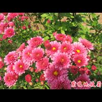 地被菊(粉色)-台安县娟子花木园