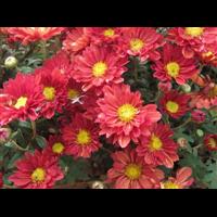 地被菊红色-台安县娟子花木园