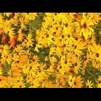 黑心菊-台安县娟子花木园
