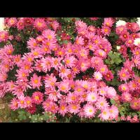 粉色地被菊-台安县娟子花木园