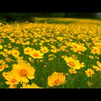 金鸡菊-台安县娟子花木园