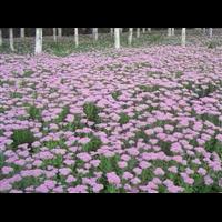 八宝景天-台安县娟子花木园