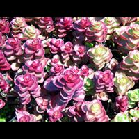 红叶景天-台安县娟子花木园