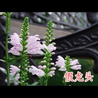 假龙头|批发基地-台安县娟子花木园