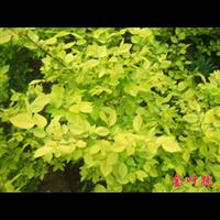 金叶莸|价格行情-台安县娟子花木园