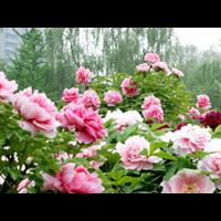 牡丹苗|批发价格-台安县娟子花木园