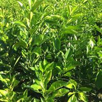 重庆纽荷尔脐橙苗种植基地