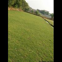 中山草皮批发-中山草坪草卷-中山台湾草皮供应