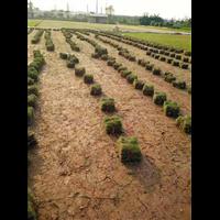 顺德草皮批发-顺德草皮基地-顺德台湾草皮