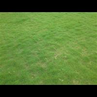 广东草皮批发-广东台湾草皮基地-佛山草场基地