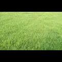 广东草坪草皮草场出售、广东绿化草坪批发、广东草场基地