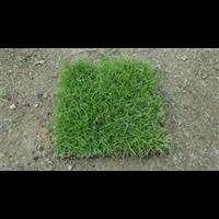 广州大叶油草皮_大量供应_价格低