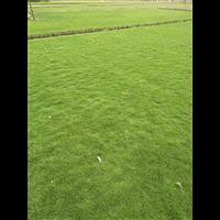 佛山2万卷草皮低价出售
