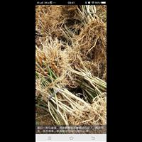 广西融安县恒源药材种植专业合作社供应黑老虎钩藤苗