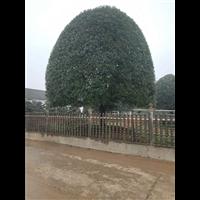 贵州桂花树价格