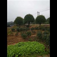 贵州桂花树供应商