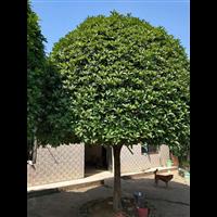 10公分优质桂花树种植基地?