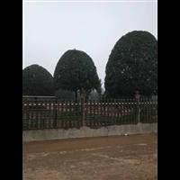 优质桂花树培育销售